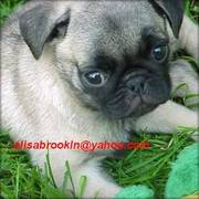 Affectionate Pug Puppies for Christmas Gifts